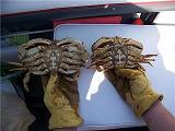 female-male-crabs