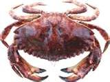red-rock-crab