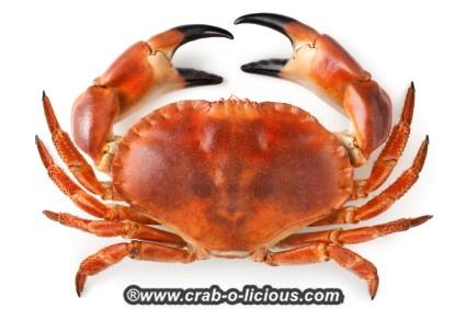 stone-crab-1