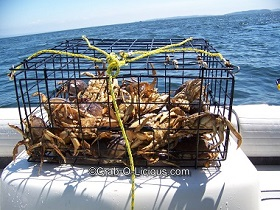 crab-pot-full-dungeness-crab