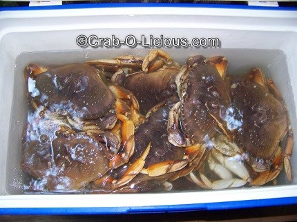 live-dungeness-crabs