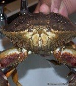 dungeness-crab-5