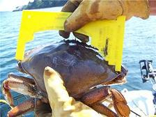 measuring-dungeness-crab